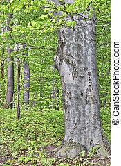 Beech tree - View of spring beech tree with leaves