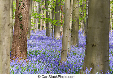 Beech trees and bluebells wildflowers