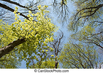 Beech trees crowns in early spring