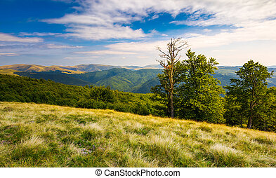 beech trees on a meadow of Svydovets ridge. beautiful...