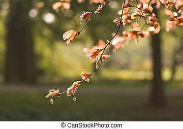 beechleaf, весна, красный