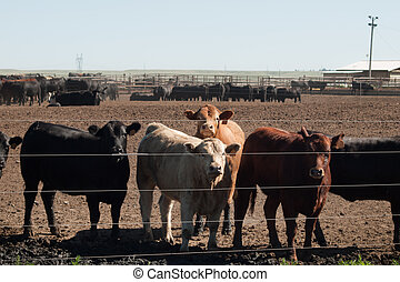 Beef cattle in northern Colorado.
