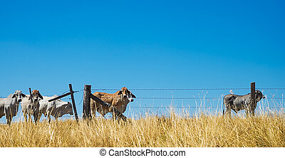 Australian rural landscape with beef cattle brahman cows on the horizon behind a barbed wire fence