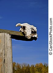 Beef cow skull on display on a ranch
