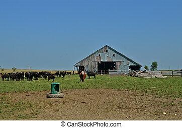 Beef Herd on the Prairie