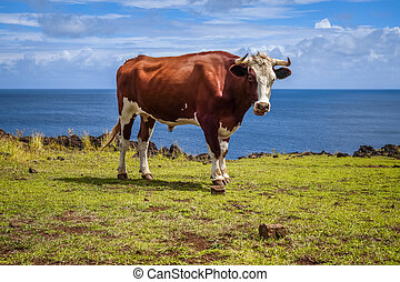 Beef on easter island cliffs
