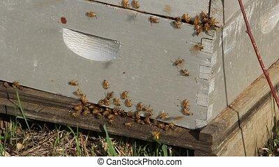 beehive box  - bees swarm on a beehive box
