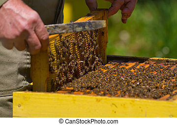 Beekeeper and honeycomb with bees and honey