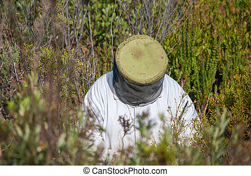 Beekeeper at work between fynbos plants near Sir Lowrys Pass...