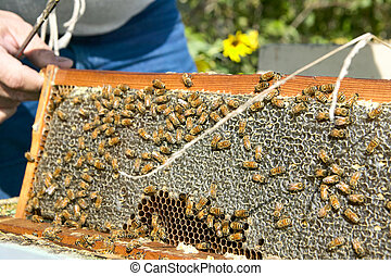 Beekeeper holding panel of honeycomb with bees