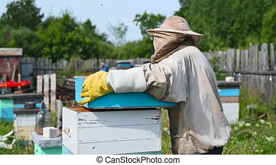 Beekeeper is working with bees and beehives on the apiary...