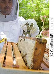 Beekeeper lifting out frame with metal tool