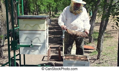 Beekeeping. Working bees on the honeycomb with sweet honey.