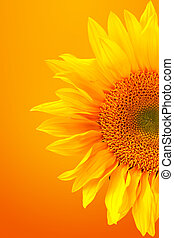 beeld, warme, achtergrond, zonnebloem, frappant
