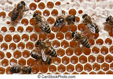 Passing repeatedly through itself, bees enrich nectar enzymes. Simultaneously they evaporate from it water. They close honey received thus wax (from above-at the left - the closed honey).