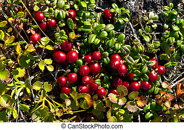 beeren, reif, herbst, tundra., cowberry, rotes