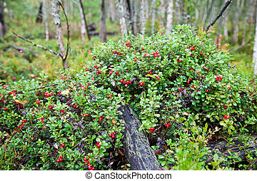 beeren, strauch, lingonberry, wald