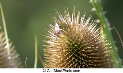 Beerenwanze, Dolycoris Baccarum, CloseUp - Native version,...