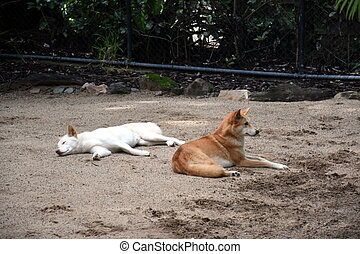 White and red dingos relaxing