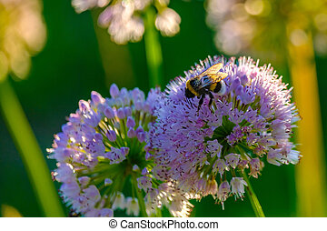 Bees and bumblebees collecting nectar from flowers in the rays of the morning sun