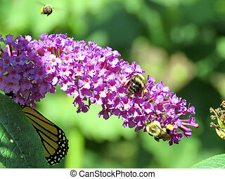 Bees and Monarch Butterfly on a buddleja flower