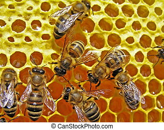 Bees and sunflower honey.