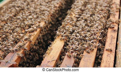 Bees are coming out of the open hive - Opened beehive, bees...