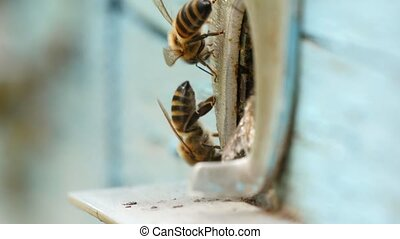 Bees are flying at a beehive entrance in summer. They...