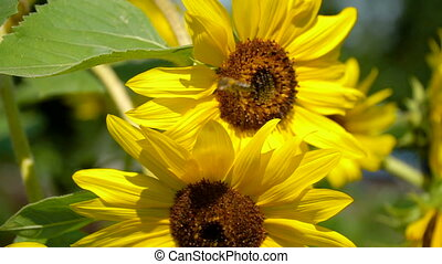 Bees are on big sunflower pollen. - Honey bee collect pollen...