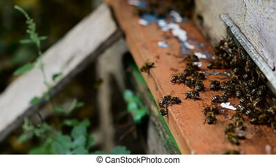 Bees at front hive entrance close up. - Bee flying to hive....