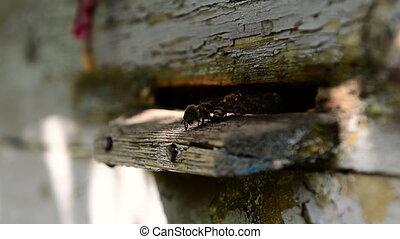Bees at front hive entrance. close up. - Bees at front hive...