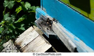 Bees at front hive entrance. - Bees at front hive entrance...