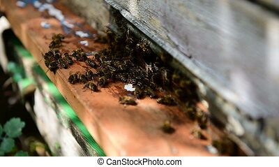 Bees at front hive entrance. - Honey bee drone enter the...