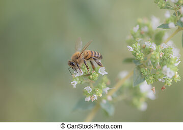 bees at work, collecting nectar on marjoram flower