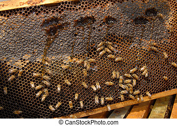 Bees Beehive - A close up view of working bees in a beehive...