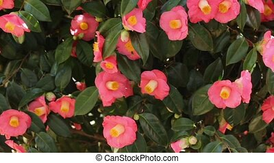 Bees camellia flowers