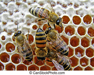 Bees close honey. - Mature honey of bee is closed lids from...
