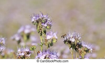 Bees collect honey from the flowers of Phacelia