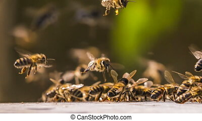 Bees collect honey from the surface - A group of bees...