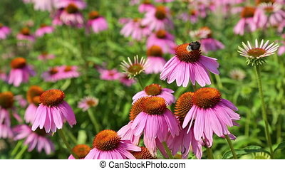Bees collect nectar from the flowers of Echinacea purpurea