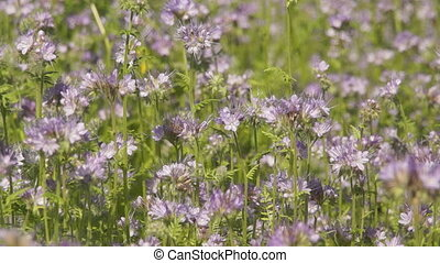 Bees collect nectar from the flowers of Phacelia