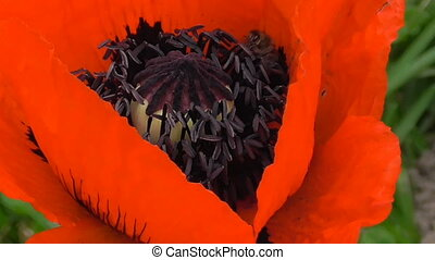 Bees collect nectar in the flower of a red poppy