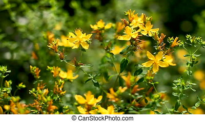 Bees collect pollen from blooming Hypericum flowers. Natural...