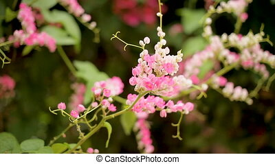 Bees collect pollen from creeper plant with pink flowers....