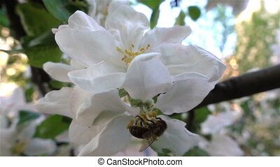 Bees collecting nectar of pollen on blooming tree flower....