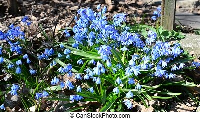 Bees collecting nectar or pollen from Siberian squill -...
