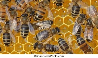 Bees convert nectar in to honey - Bees build honeycombs and...