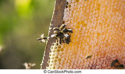 Bees Eating Honey. Slow motion