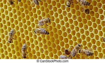 Bees family working on honeycomb in apiary. Life of apis mellifera in hive. Concept of honey, beekeeping, commercial pollinators, food producers. High quality 4k