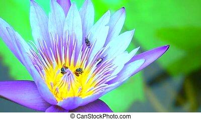bees find sweet on pollen of light purple lotus flower